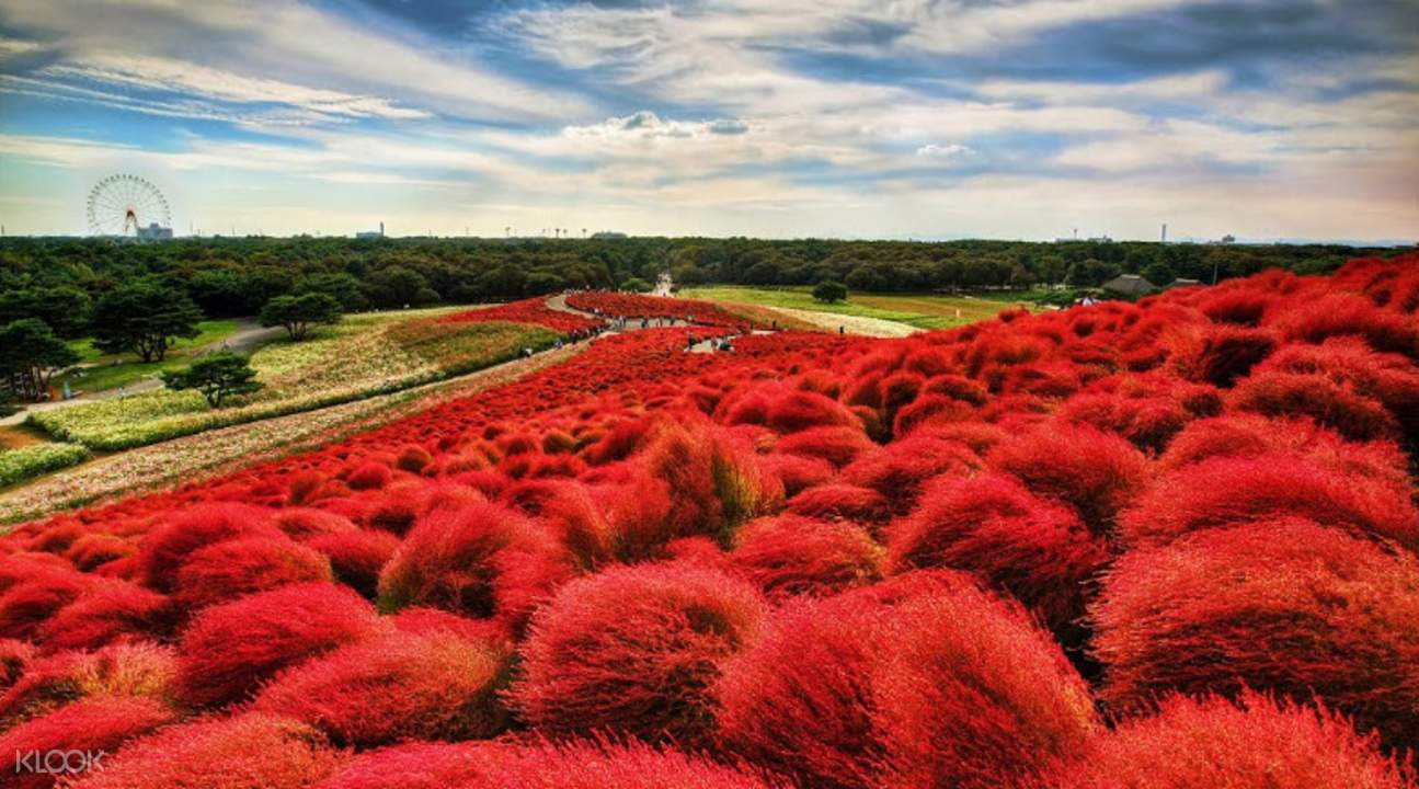 field of kokia flowers
